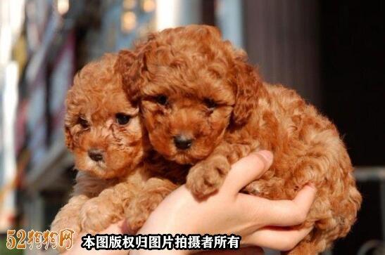 宠物狗泰迪价格图2
