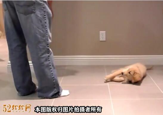 小狗的训练视频、10周大的金毛小狗基础训练