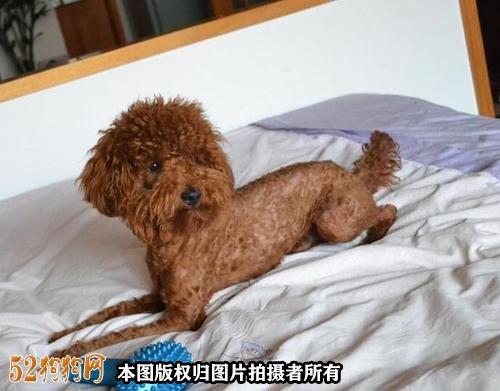 小泰迪狗怎么养图2