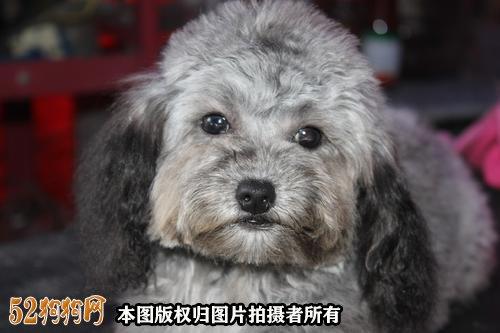 小泰迪狗怎么养图3