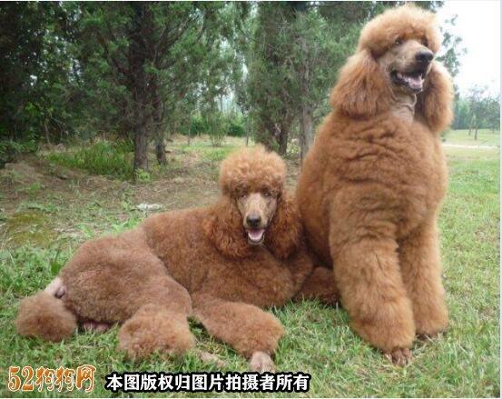 大贵宾犬图片1