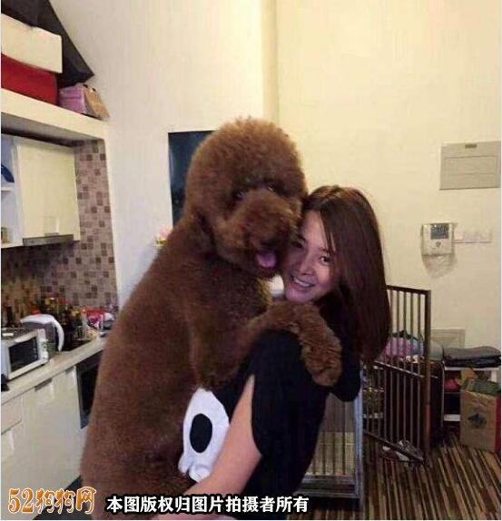 大贵宾犬图片2