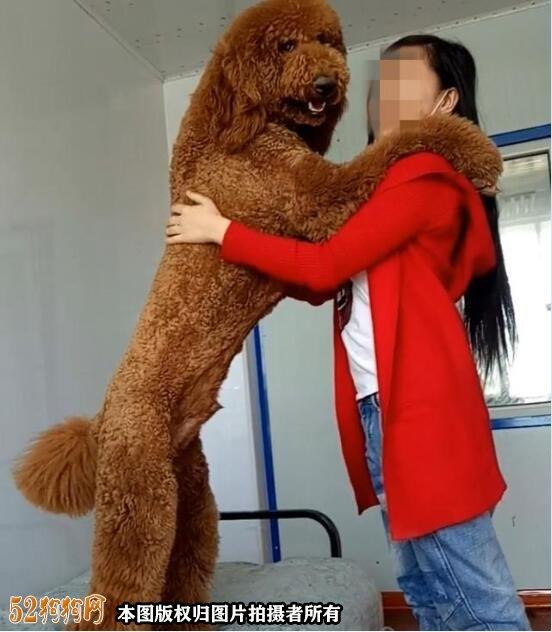 大贵宾犬图片3