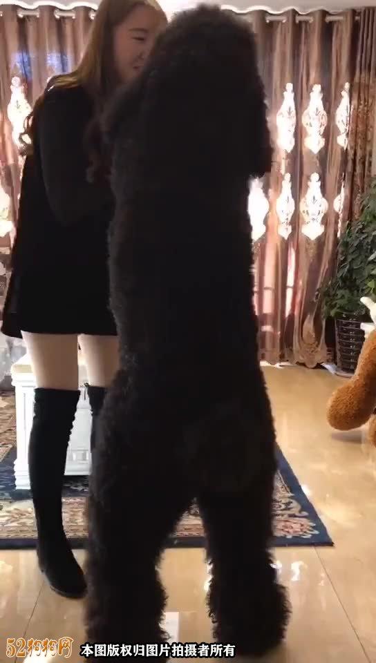 大贵宾犬图片4