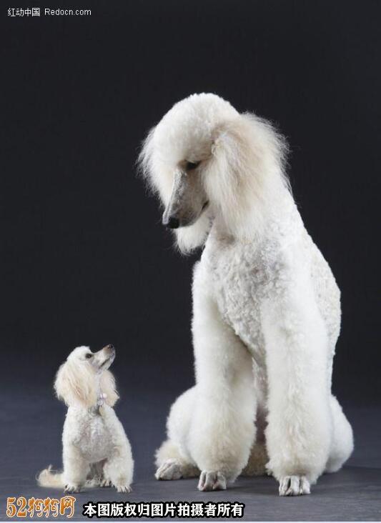 大贵宾犬图片5