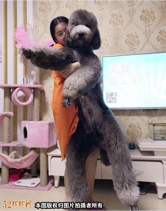 大贵宾犬图片6