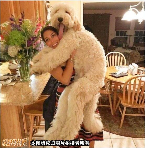 大贵宾犬图片7
