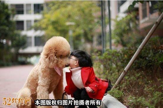 大贵宾犬图片9