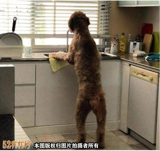 大贵宾犬图片10