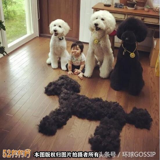 大贵宾犬图片11