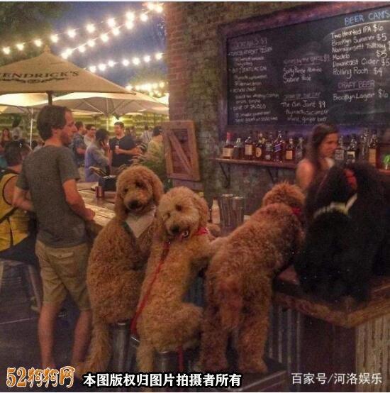 大贵宾犬图片12