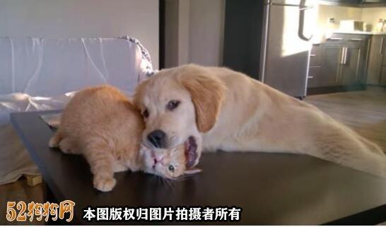 金毛犬性格图3