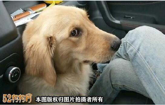 金毛犬性格图6