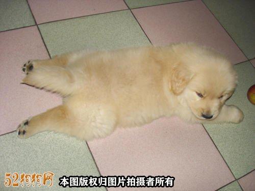 金毛犬性格图7