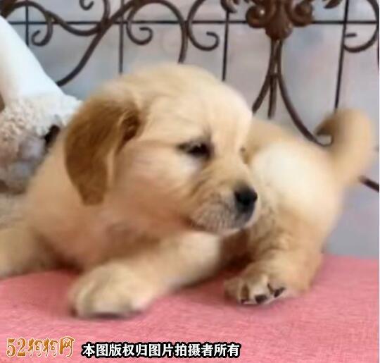 金毛犬图片介绍与价格