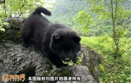 黑松狮图片9