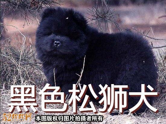 黑松狮图片