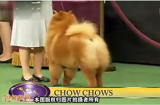 松狮犬视频图1