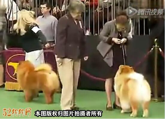 松狮犬视频图2