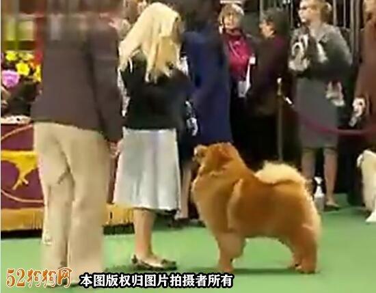 松狮犬视频图3
