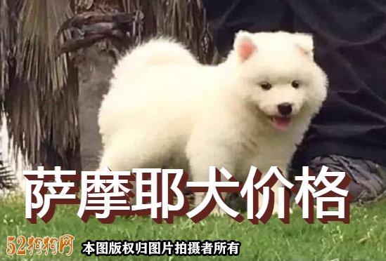 萨摩犬价格图1