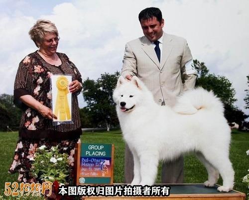 萨摩犬价格图2