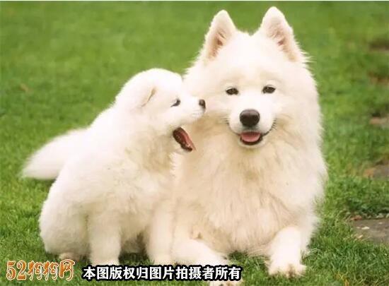 萨摩耶小狗多少钱