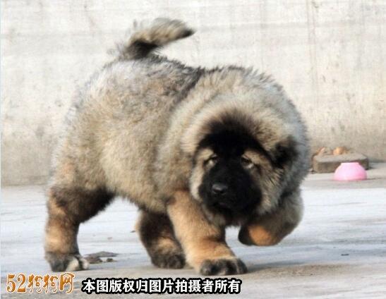 高加索犬图片价格表3