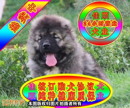 高加索犬图片价格表5