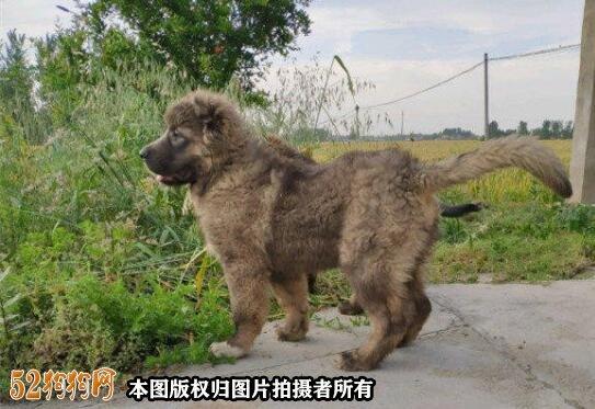高加索犬图片价格表8