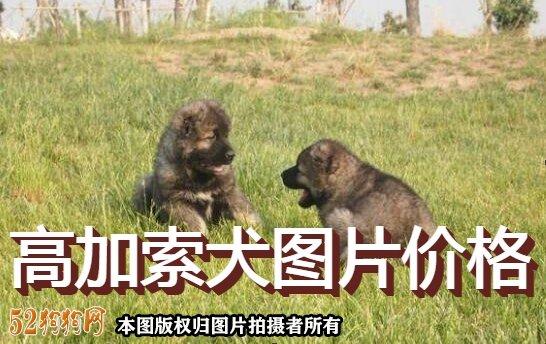 高加索犬图片价格表1