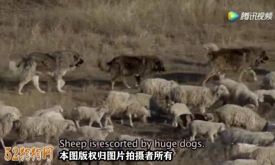 高加索犬打架视频、高加索犬与狼的战争故事!