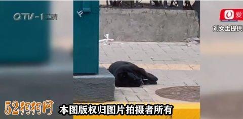 青岛一小区宠物狗中毒事件频发!小狗十几秒就死亡!