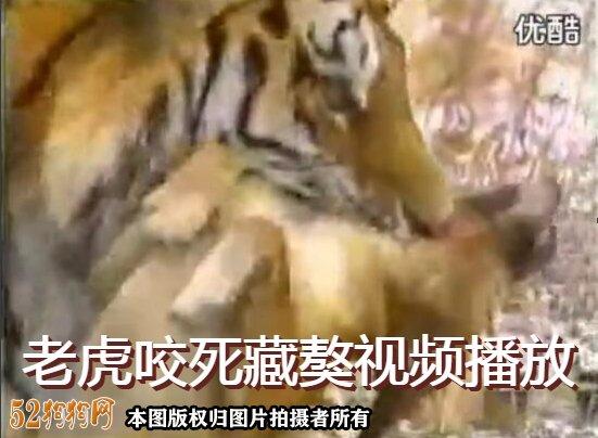 老虎咬死藏獒视频播放
