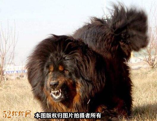 藏獒价格5000万图片1