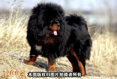 藏獒价格5000万图片2