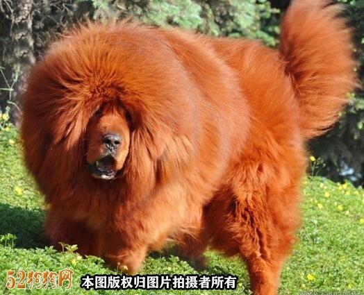 藏獒价格5000万图片3