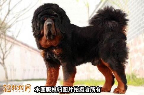 藏獒价格5000万图片5