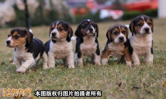 北京哪里卖比格犬