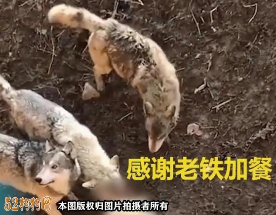 泰迪狗掉入狼窝,遭遇群狼围攻致死