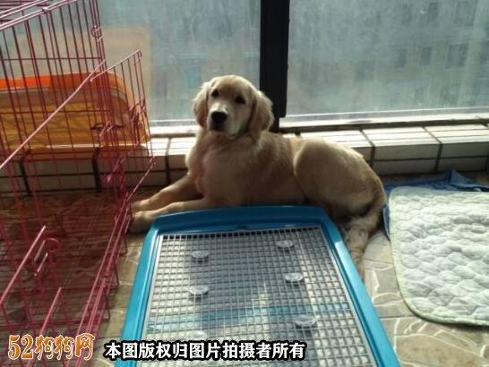 如何训练小狗大小便图2