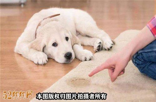 如何训练小狗大小便图5
