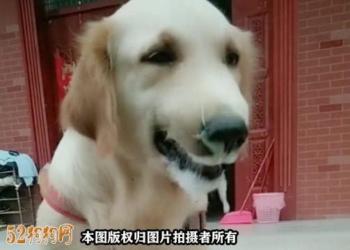 狗狗呕吐白色泡沫怎么回事