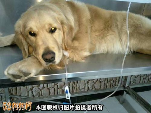 狗狗呕吐黄水怎么回事