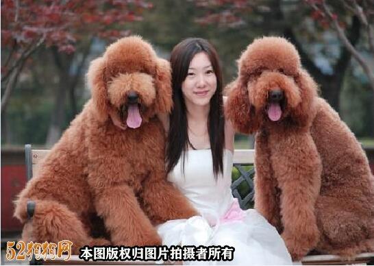 大泰迪犬图片大全2
