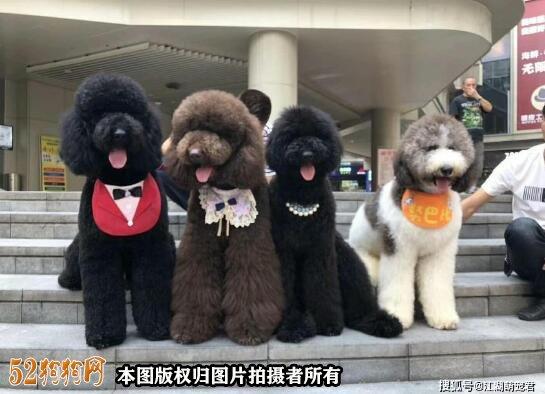 大泰迪犬图片大全7