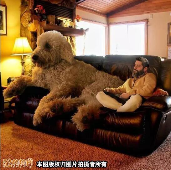 大泰迪犬图片大全8