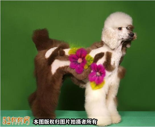大泰迪犬图片大全9