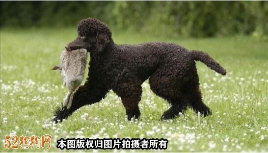 大泰迪犬图片大全12