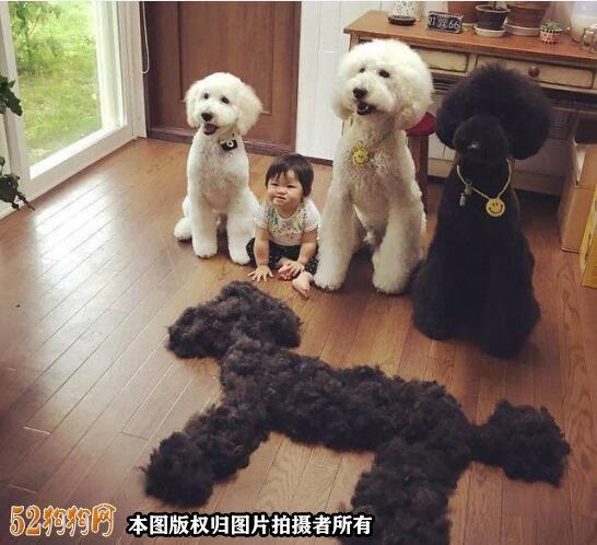 大泰迪犬图片大全1